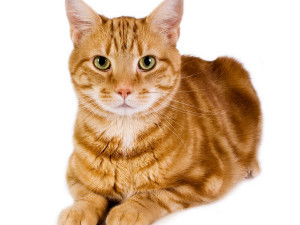 ginger-cat-300x300[1]