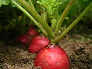 radishes[1]