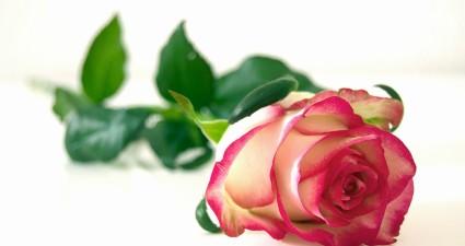 rose-301406_1280